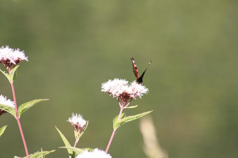 Les papillons. - Page 2 02092063