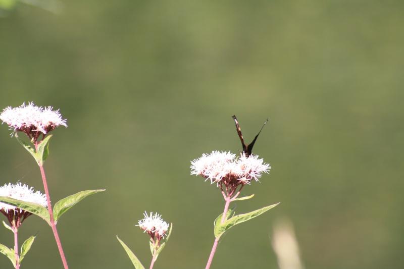 Les papillons. - Page 2 02092066