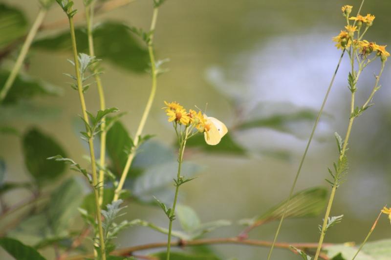 Les papillons. - Page 2 02092067