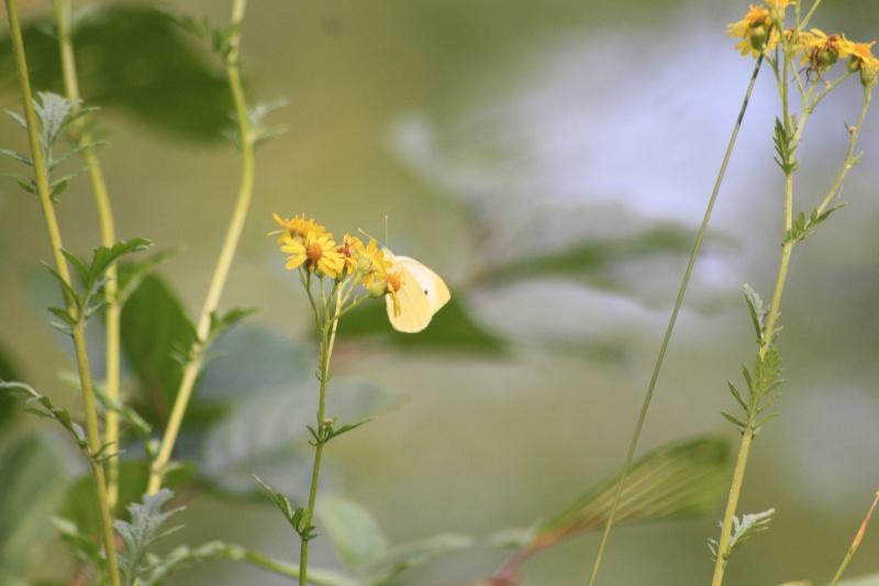 Les papillons. - Page 2 02092068