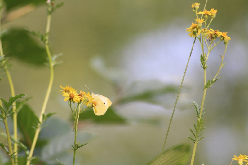 Les papillons. - Page 2 02092069