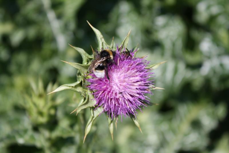 Les abeilles. 03072039