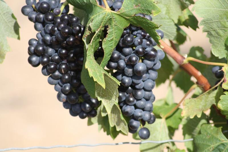 Le raisin ( les vendanges) 04082015