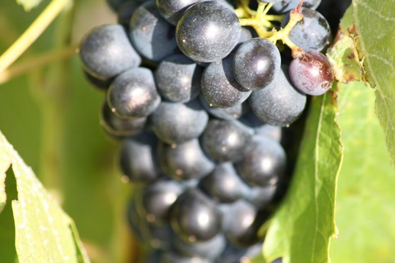 Le raisin ( les vendanges) 04082016