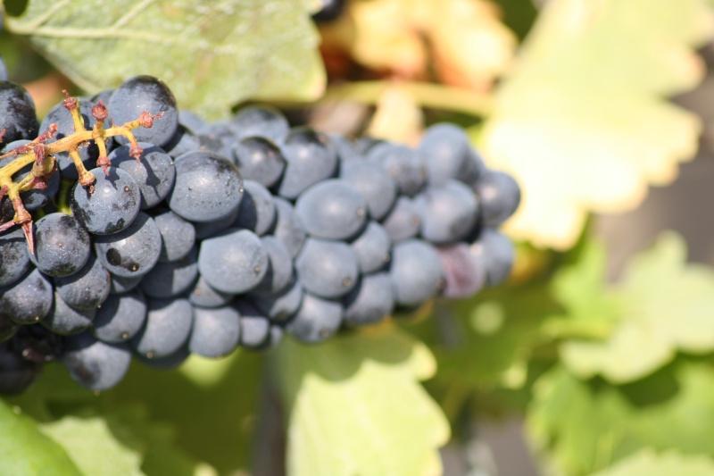 Le raisin ( les vendanges) 04082017