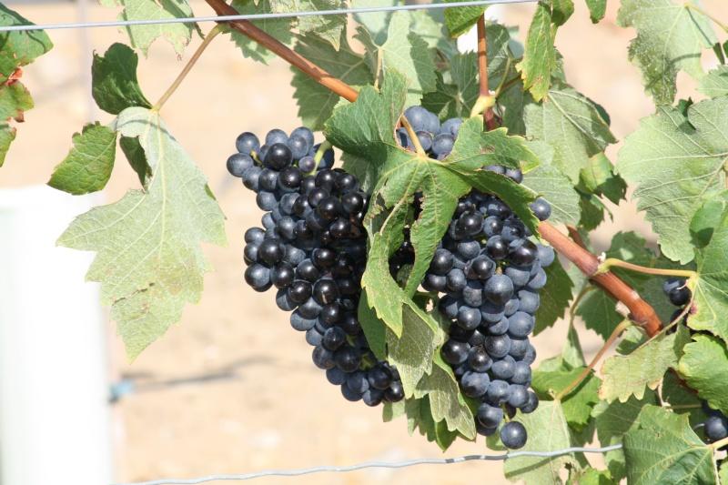 Le raisin ( les vendanges) 04082018
