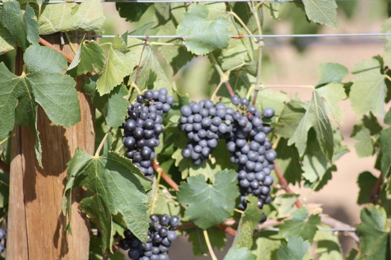 Le raisin ( les vendanges) 04082020