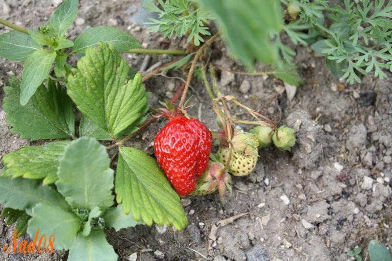 Les fraisiers, et ses fruits 11052010