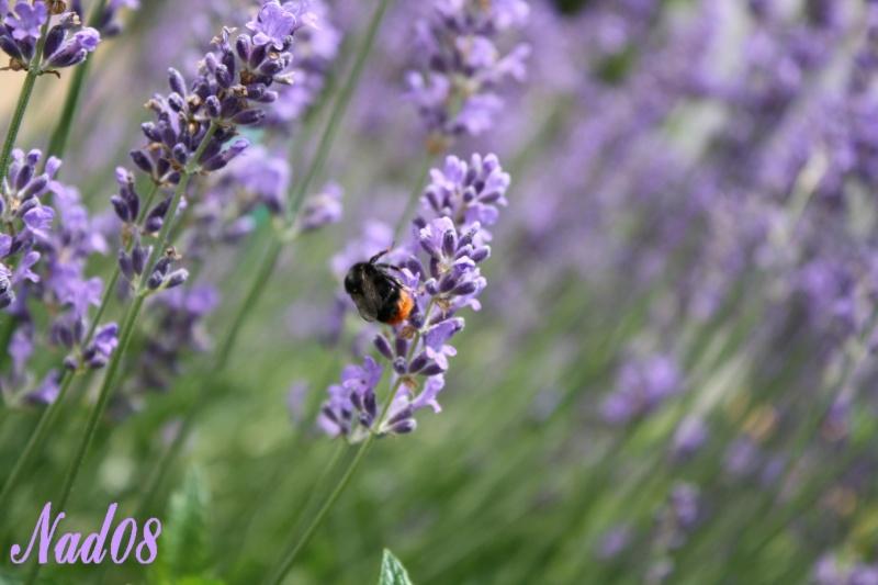 Les abeilles. 11062010