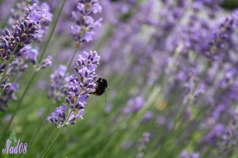 Les abeilles. 11062011