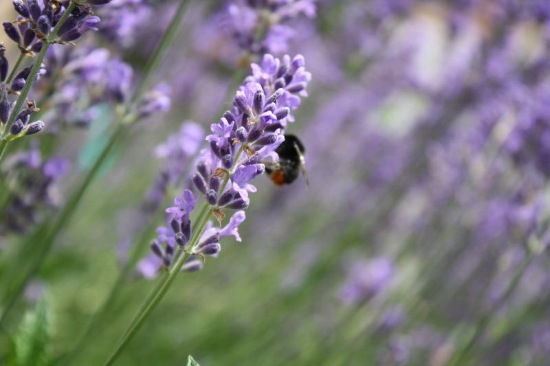 Les abeilles. 11062012