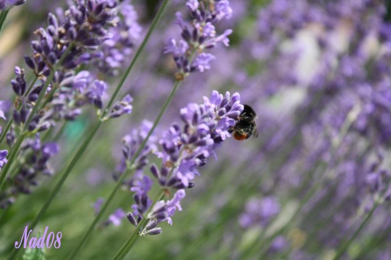 Les abeilles. 11062013