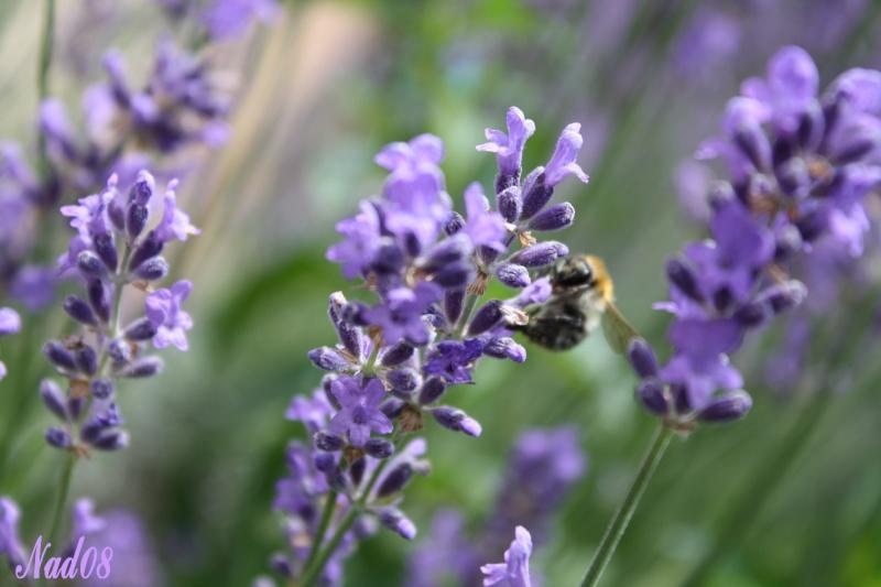 Les abeilles. 11062014