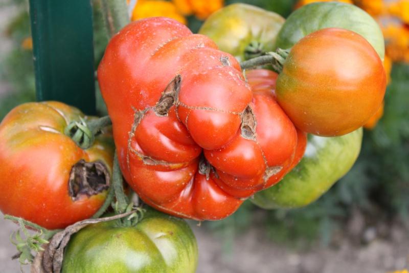 Les tomates du jardin 11082013