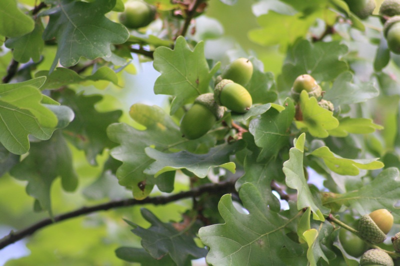 Le chêne et son fruit 15082013