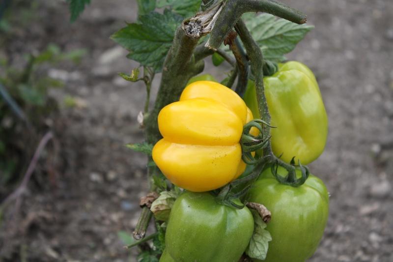 Les tomates du jardin Img_4628