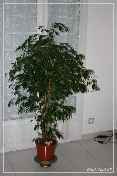 si nous parlions d'une plante d'intérieur: le ficus! - Page 2 Img_9712