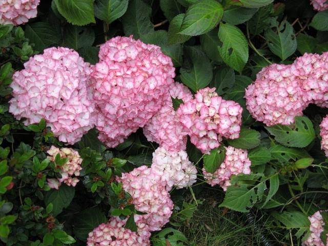 Hydrangea   Hortensia des jardins - Page 3 Img_0313