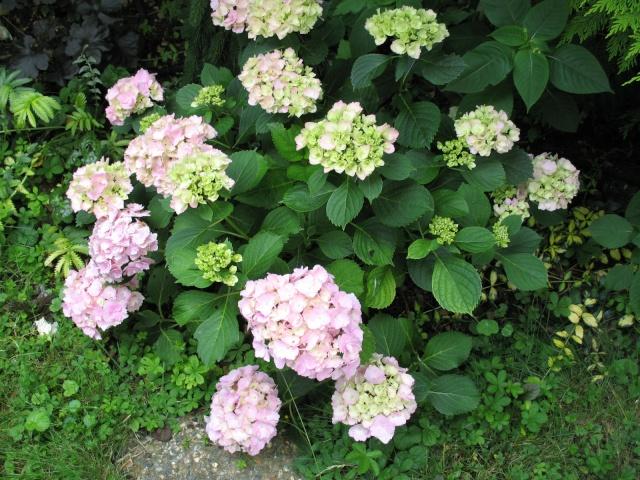 Hydrangea   Hortensia des jardins - Page 3 Img_0314