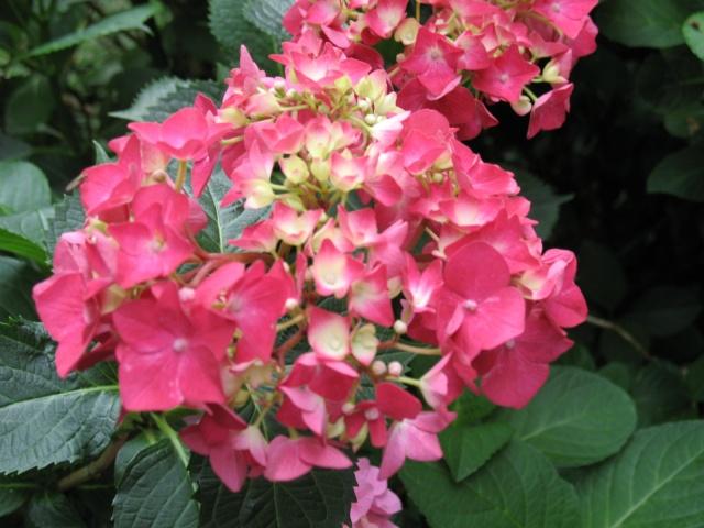 Hydrangea   Hortensia des jardins - Page 3 Img_0315
