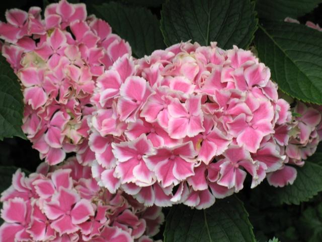 Hydrangea   Hortensia des jardins - Page 3 Img_0316