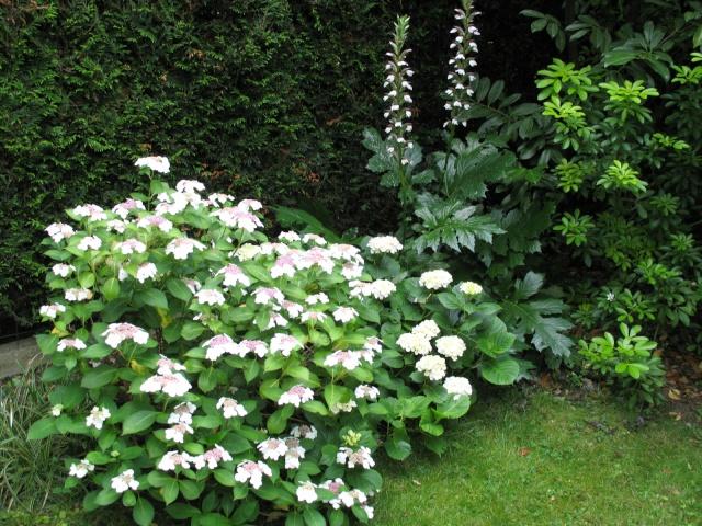 Hydrangea   Hortensia des jardins - Page 3 Img_0317