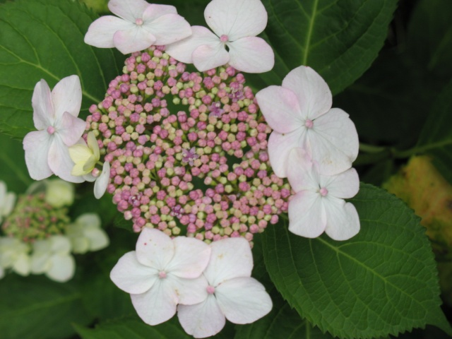 Hydrangea   Hortensia des jardins - Page 3 Img_0318