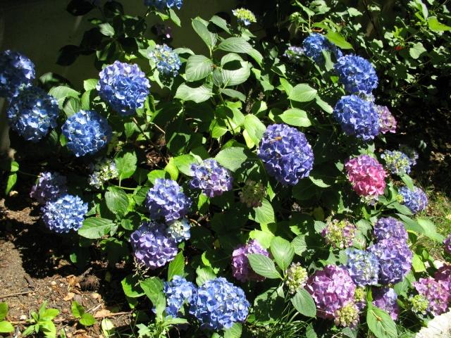Hydrangea   Hortensia des jardins - Page 3 Img_0411