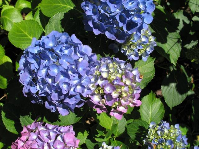 Hydrangea   Hortensia des jardins - Page 3 Img_0412