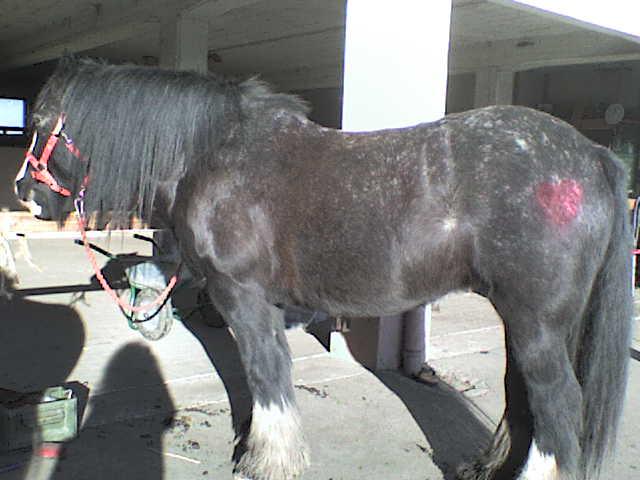 Roxane grisonne (sondage: votre cheval change de couleur?) Chevau12