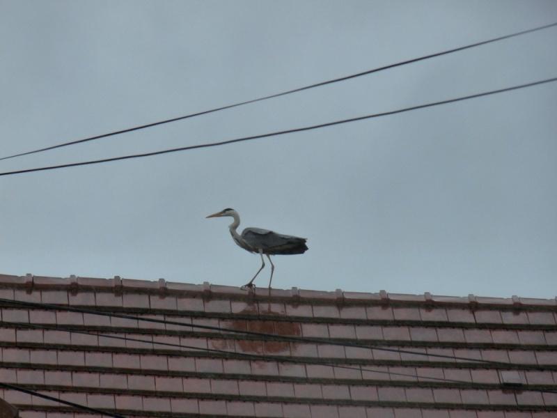 Surprise tout à l'heure sur le toit de la maison en face P1180812