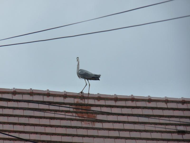 Surprise tout à l'heure sur le toit de la maison en face P1180813