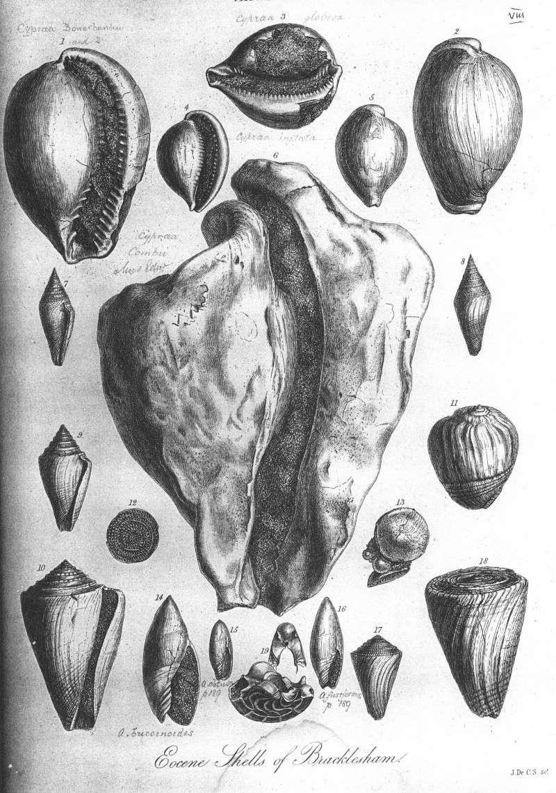 [résolu]Gisortia (s.str.) coombii (SOWERBY in DIXON, 1850) Sowerb10