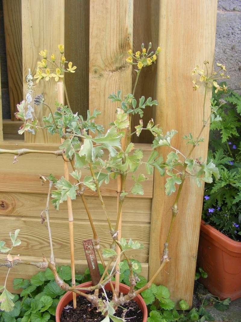 Pelargonium gibbosum 31050820
