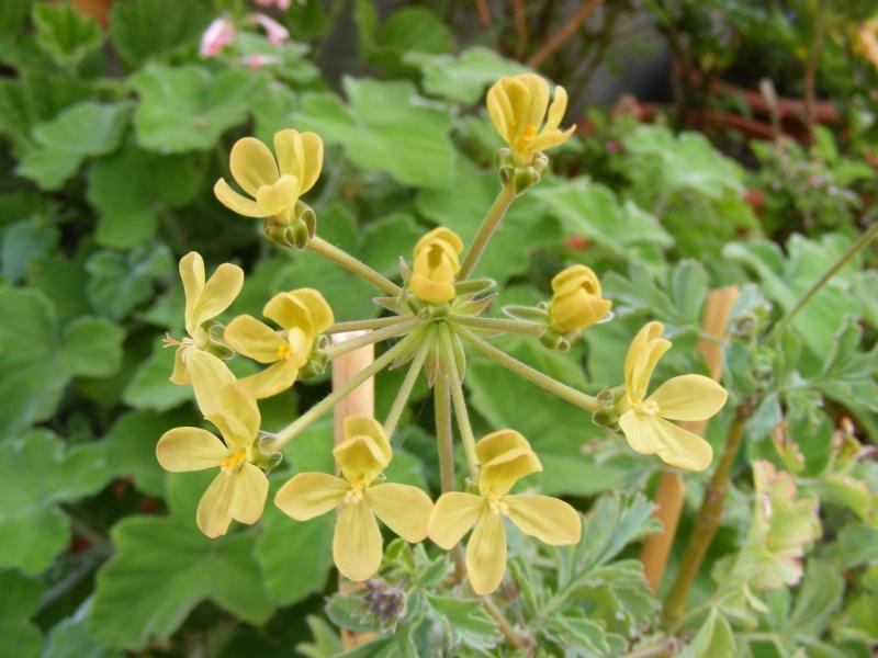 Pelargonium gibbosum 31050821