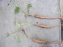 boutures de racines 20050811