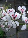 Pelargonium elongatum Echina10