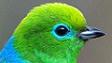 Les Fringillidés sud américains