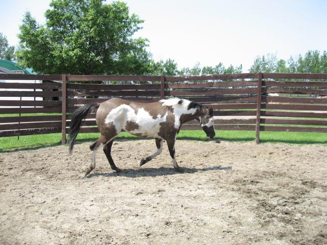 American Horse's Valley et ses Paint Horses... 15juin11
