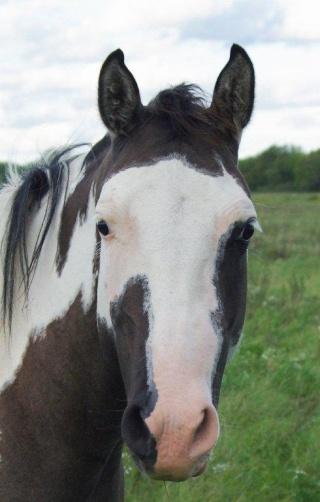American Horse's Valley et ses Paint Horses... _igp9010