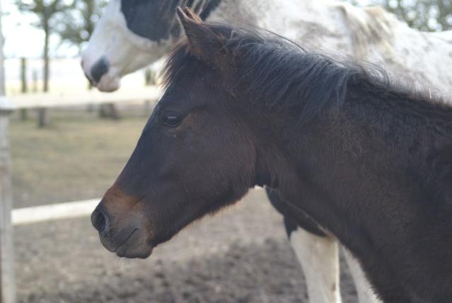 CODY, poulain Paint Horse Dsc02111