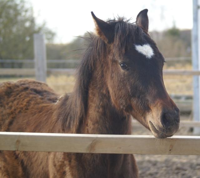 CODY, poulain Paint Horse Dsc02114