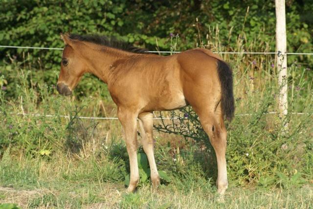 CODY, poulain Paint Horse Dsc02310