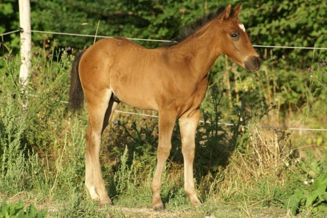 CODY, poulain Paint Horse Dsc02311