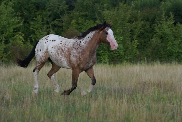 American Horse's Valley et ses Paint Horses... Dsc03310