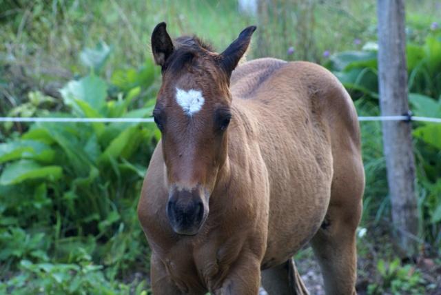 CODY, poulain Paint Horse Dsc04210