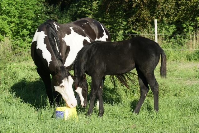 PRETTY, pouliche Paint Horse Dsc04610