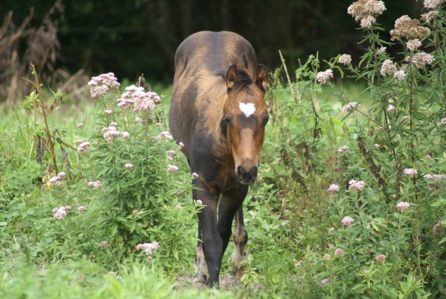 CODY, poulain Paint Horse Dsc04911