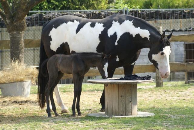 American Horse's Valley et ses Paint Horses... Dsc07210