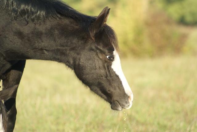 PRETTY, pouliche Paint Horse Dsc08221